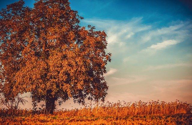 vlašský ořech strom